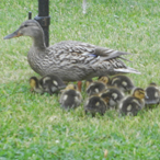 Duckie with babies